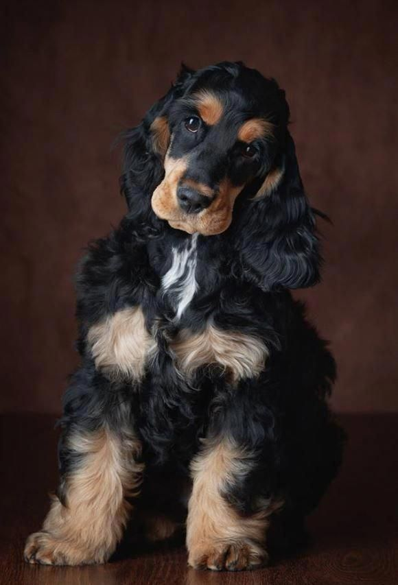 Explore Our Website For Additional Information On Spaniel Puppy It Is An Outstanding Spot To Read More In 2020 Spaniel Puppies Cocker Spaniel Puppies Cocker Spaniel