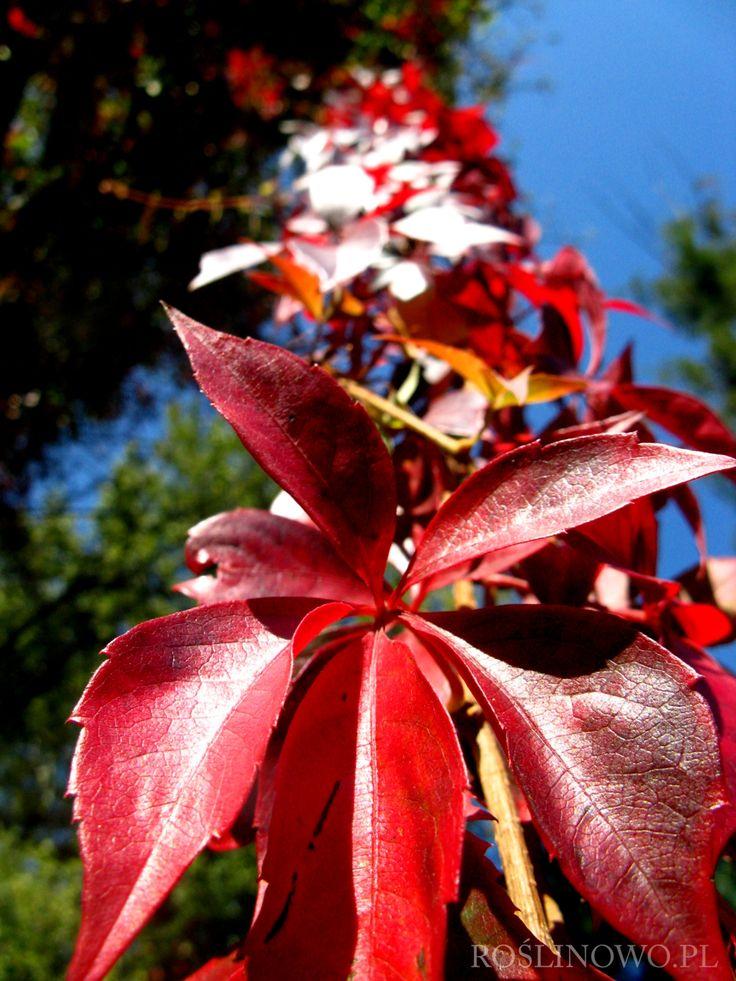 Winobluszcz pięciolistkowy (Parthenocissus quinquefolia) czerwony 3