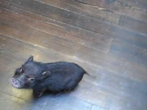 H.Finn, Mini Pet Pig, Excited For Dinner