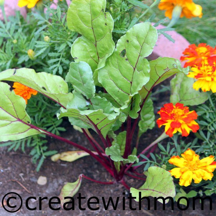 Výsledek obrázku pro beetroot flower