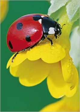 red ladybug in a yellow flower ... beautiful shot ... flowers and garderns at www.gardenersland.com