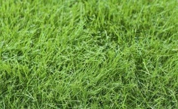 Growing Fine Fescue Learn About The Care And Uses For Fine Fescue Lawns In Cool Areas With Plenty Of Shade Will Ben Fescue Grass Fescue Grass Seed For Shade