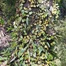 Pyrrosia eleagnifolia