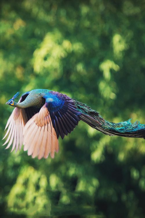 .Peacock in flight.