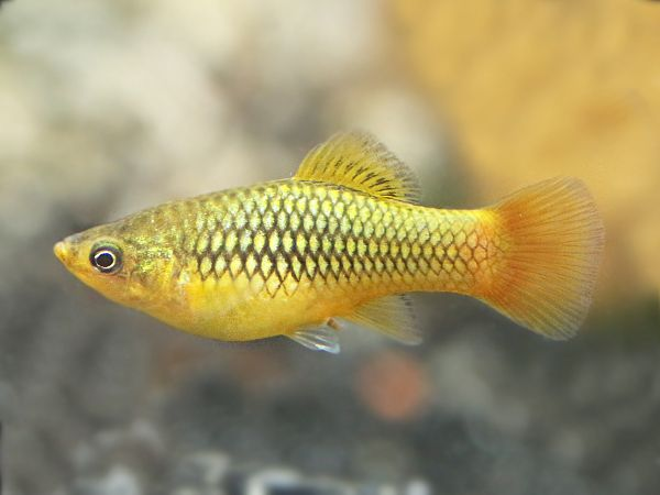 Sunset Gold Platy Available At Https Fishplace Eu Product Sunset Gold Platy Price Starts From 0 50 Gbp Gold Platy Cool Fish Aquarium Fish Tropical Fish