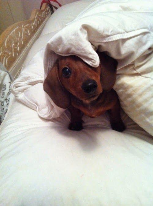 12 Best Dachounds Images On Pinterest Dachshund Dog