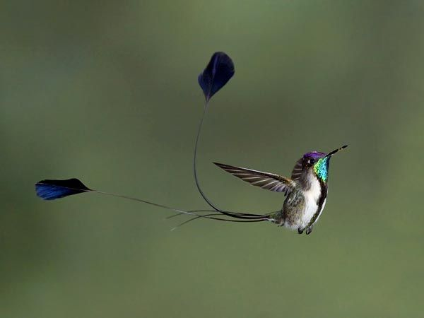 photos of birds   ... spatuletail picture: one of the best bird pictures in a new contest