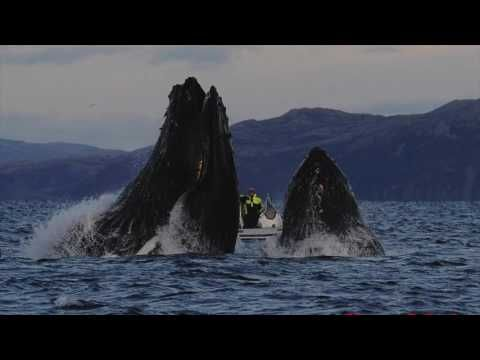 Humpback whale almost swallows diver in Norwegian Sea; video | GrindTV.com