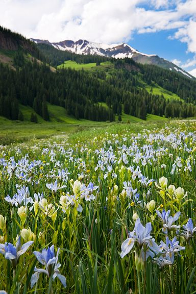 Colorado Wildflowers (crested butte)