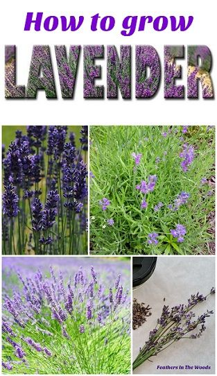 How to grow Lavender. Propagating lavender.