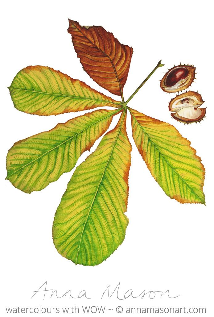 Horse Chestnut Watercolour on paper 31 x 41 cm (12″ x 16″) Currently unframed…