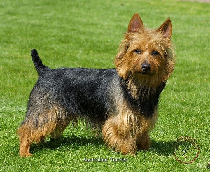 Australian Terrier - When Australians wanted a particular type of dog to do a particular job, they created it by crossbreeding dogs that were available to them. Such was the beginning of the Australian Terrier.
