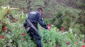 Destruyen fuerzas federales 246 mil plantas de amapola en Oaxaca