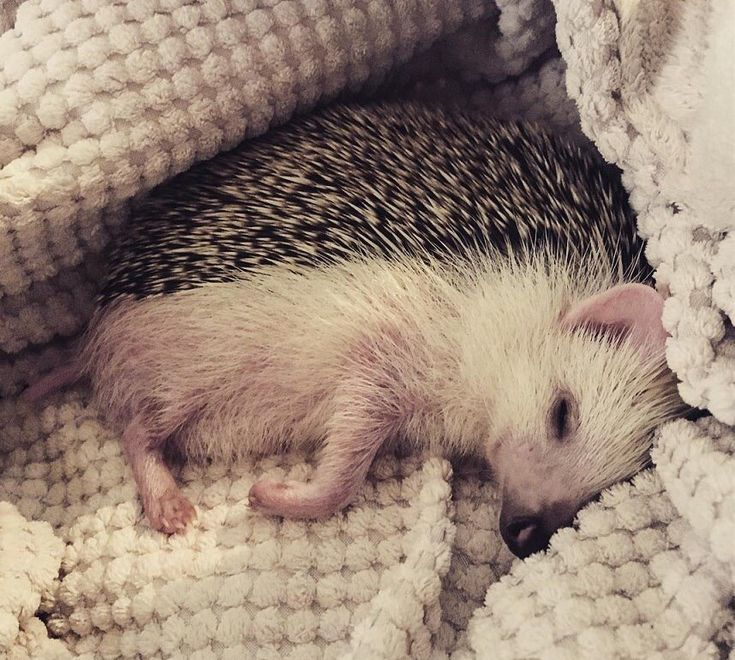 Best 25 How Much Are Hedgehogs Ideas On Pinterest
