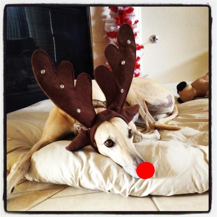 165 Best Greyhound Christmas Images On Pinterest