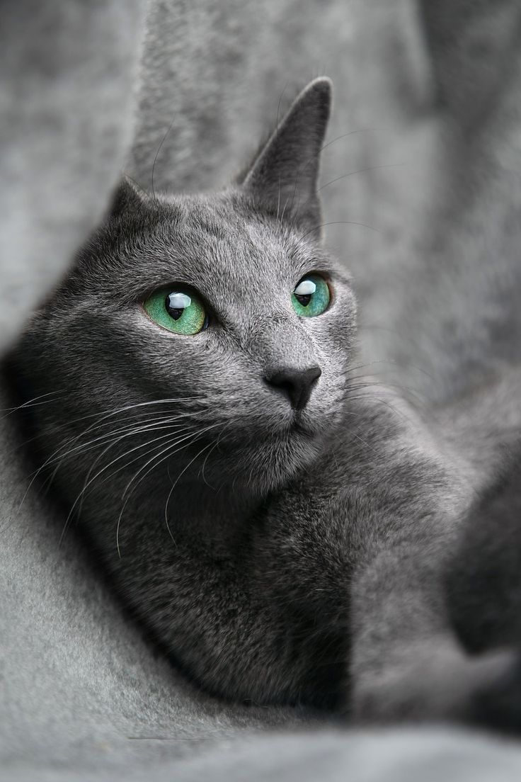 1387 best All Cat Breeds images on Pinterest