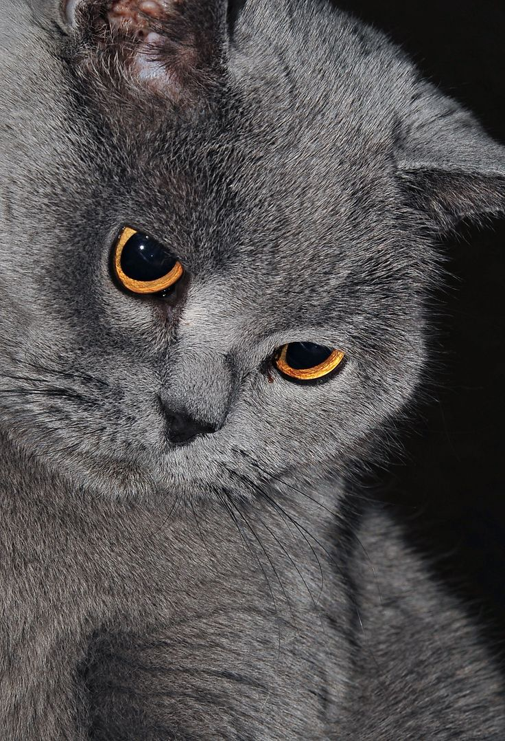 тем как картинки британских котов на телефон все