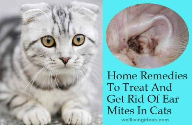 Home Remedies To Treat And Get Rid Of Ear Mites In Cats Cat Remedies Cat Ear Mites Cat Ear Infections,Enchilada Recipe Authentic