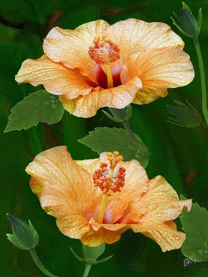 Morning Blooms - Hibiscus Photograph