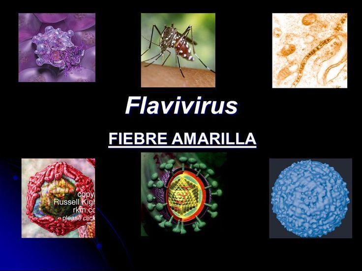 El virus de la fiebre amarilla pertenece al grupo de los FLAVIVIRUS. Presentan una envuelta lipídica con espículas, simetría icoaédrica y genoma RNAss positivo. La envuelta la adquiere de vesículas intracelulares. Este virus es transmitido por artrópodos del género Aedes. Infectan hepatocitos y células de Kupffer, causando fiebres hemorrágicas. #fiebreamarilla #VFM #virusfiebreamarilla