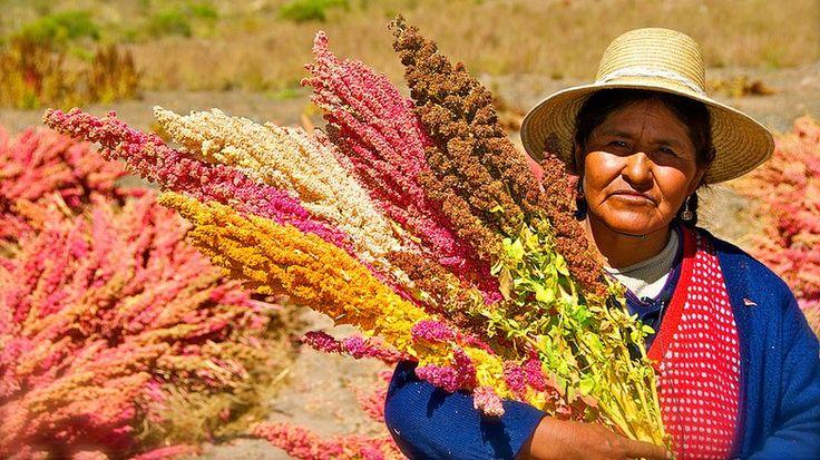 #Descifran genoma de quinoa, planta considerada una esperanza mundial - globovision.com: globovision.com Descifran genoma de quinoa, planta…
