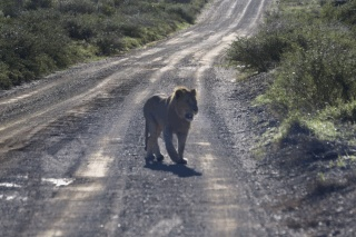 On the prowl is today's #virtualvacay #southafrica #kwandwe