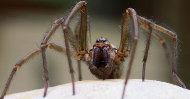 """Para el público en general, las mordeduras de arañas o insectos no representa un peligro importante. La inyección de """"saliva"""" del insecto, o de su veneno, dentro de nuestra piel puede provocar una pequeña inflamación que durará unas cuantas horas o días. Las picaduras de mosquitos, moscas, garrapatas, chinches o arañas son muy similares, sin embargo, algunos de ellos pueden transmitir enfermedades como el dengue, la malaria o la encefalitis. Si tu eres alérgico a mordeduras de arañas o…"""
