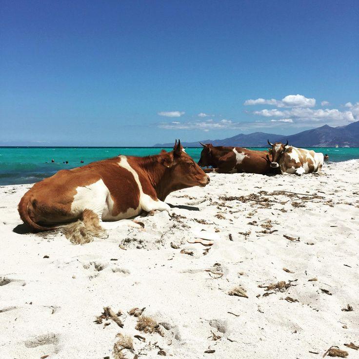 Plage de Saleccia , Saint-Florent Corse. La plage de saleccia peut se rejoindre par la route par le désert des Agriates (3/4h environ de chemins escarpés 4x4 recommandé, ou vélo ou moto) ou en venant de la plage du Lotù à pieds ou par bateau taxi.