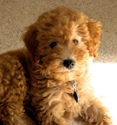 May I present a Whoodle Puppy. A Wheaten Terrier+Poodle = AMAZE.