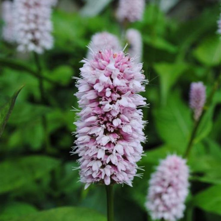 P1 Persicaria affinis 'Superba' Full sun or part shade Moist or poorly drained soil Pink flowers in late spring/early summer fading deeper as they mature H: 30 cm S: 50cm