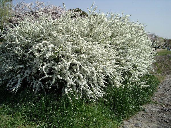 ΣΠΕΙΡΑΙΑ. Φυλλοβόλος και πολύ ανθεκτικός θάμνος που ζουν σε όλα τα εδάφη και τις εκθέσεις. Φτάνει σε ύψος το 1,5 με 2 m και τον σχήμα της είναι σφαιρικό. Οι ποικιλίες που κυρίως καλλιεργούνται στην Ελλάδα ανθίζουν γύρω στον Απρίλιο με Μάιο και τα άνθη τους είναι συνήθως λευκά ή ροζ. Το εύρος ανθοφορίας είναι 20-25 ημέρες. Ο ρυθμός ανάπτυξής της είναι μέτριος. Καλλωπιστικοί θάμνοι - Φυταγορά Σερρών