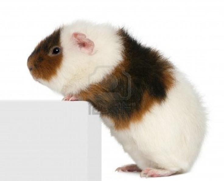Teddy cavia, 9 maanden oud, klimmen op vak in de voorkant van de witte achtergrond Stockfoto