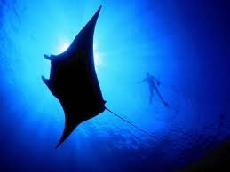 =): Awesome Shit, Blue Sea, Google Search, Awesome Animals, Manta Ray Majestic, Deep Blue, Con Google, Awesome Stuff