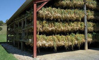 Article sur la conservation de l'ail pour les producteurs agricoles