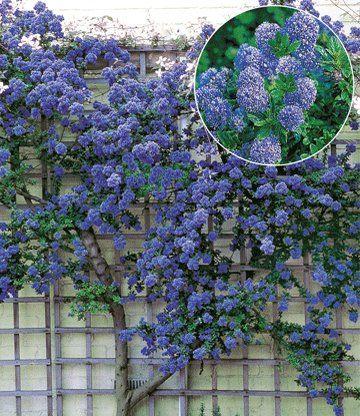 Lovely Ceanothus uTrewithen Blue u jetzt kaufen bei BALDUR Garten In der Kategorie Immergr n auch im Winter finden Sie Ceanothus uTrewithen Blue u und weitere