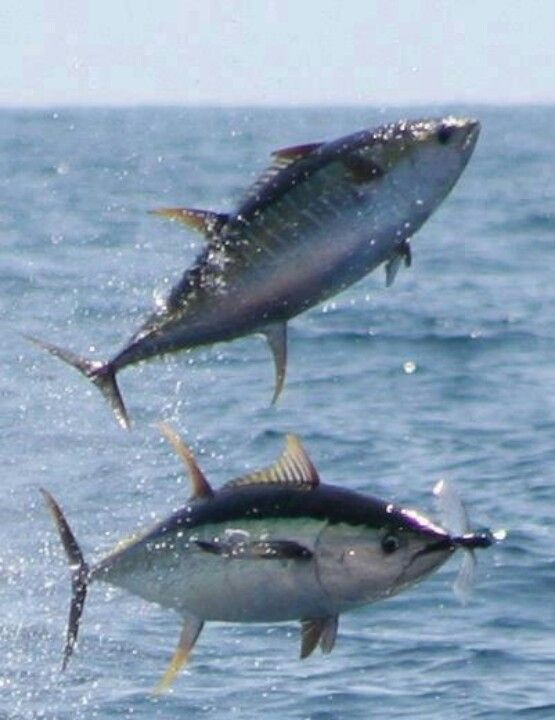 Tuna catch flying fish ocean art inspiration pinterest for Tuna fishing trips