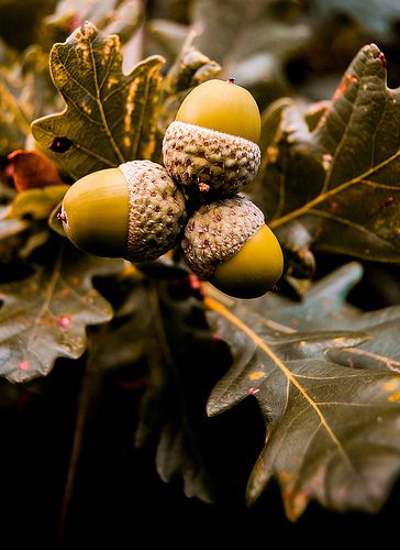 Fagaceae: oaks, acorns present, red and white. lobation and spike on end of leaf