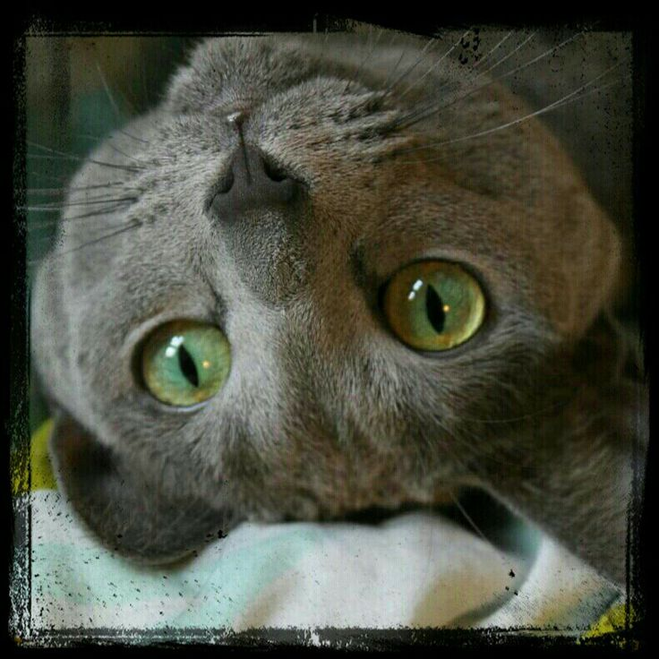 My russianblue girl cat