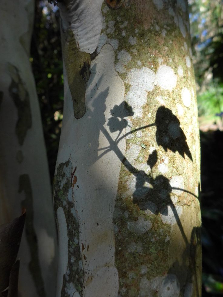Shadows of a leaf on a tree trunk at Wharepuke in Kerikeri