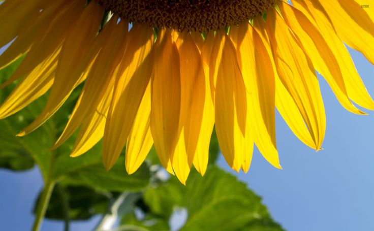 Sunflower petals HD Wallpaper