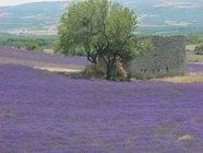 Lavender Moods