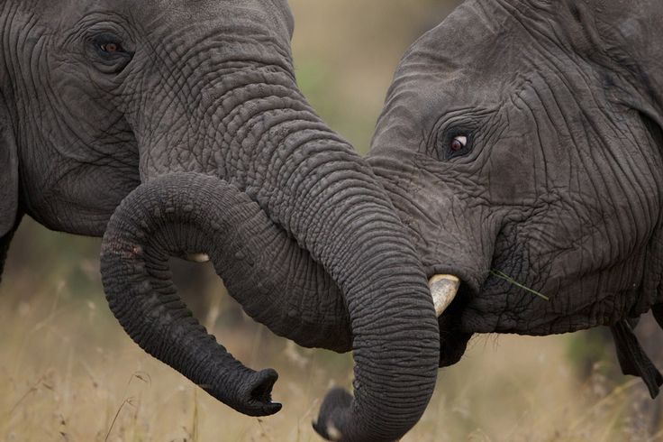Elephant Envy ~ Life in the Serengeti #photography http://sulia.com/channel/photography/f/5413e1d1-18a2-48ee-a1fc-33f75755022d/?pinner=124805973&