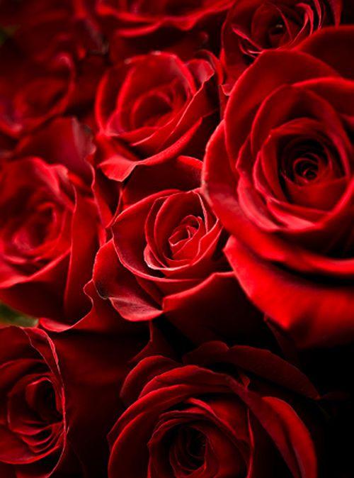 Feliz Sant Jordi #rosaroja #felizsantjordi #feliçsantjordi