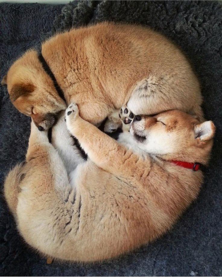 寄り添う CuddleBy @shiba.basho'#shibainupuppy #proudshibas #柴 #柴犬 #shiba #shibainu #shibastagram #shibadog #shibainumania #dog #doge #dogsofinstagram #dogoftheday #puppy #dogs_of_instagram #pet #pets #petstagram #dogsitting #photooftheday #instadog #dogoftheday #adorable #doglover #instapuppy #pup #cute #animals #animal #weeklyfluff #ilovemydog #Regram via @proudshibas