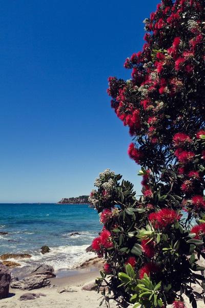 Pohutukawa Tree. Mount Maunganui, New Zealand.