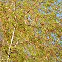 Betula pendula, Silver Birch, Bed Wen, Birk Tree, Common Birch, European White Birch, Lady Birch, Lady of the Woods, Warty Birch, Weeping Birch, Tree with fall color, Fall color, Attractive bark Tree, white Birch,