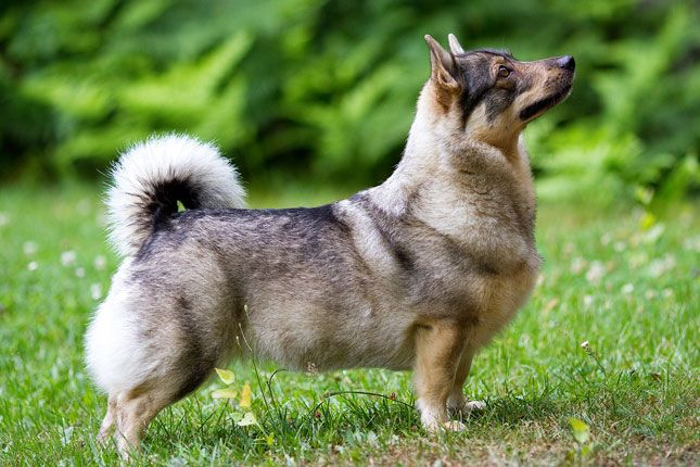 Swedish Vallhund - I want this and a Min pin. :) they would do well together in an apartment.