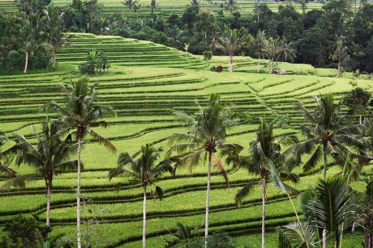 Did you know that @Sahajasawahbali is surrounded by beautiful green rice paddies? #Jatiluwih rice fields is 1 hour away. #bali #balivilla #indonesia #travelling #exloring #travel