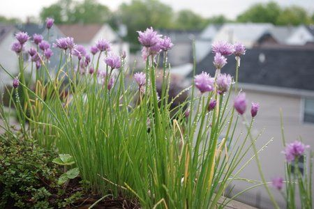 Chive Seed Saving Craft Project
