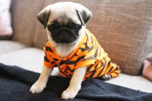 #puppy #pug #cute #dog #mopshond